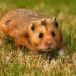 hamster-300x189